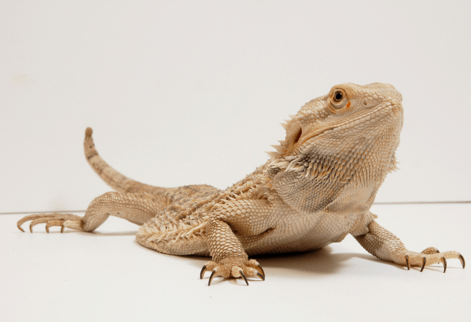 can bearded dragon eat broccoli