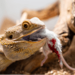 can bearded dragons eat mice 1