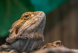 can you feed bearded dragons grapes 1
