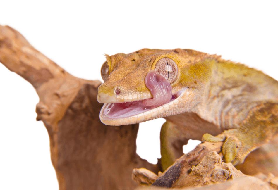 crested gecko bioactive setup 1