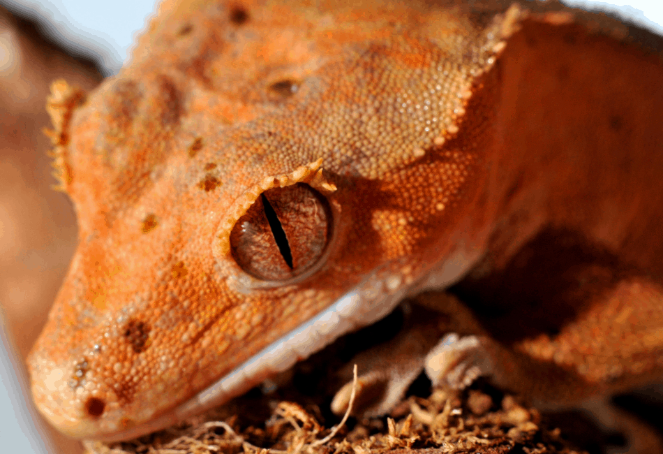 crested gecko care guide 1