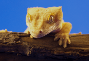 crested gecko laying eggs without male 1