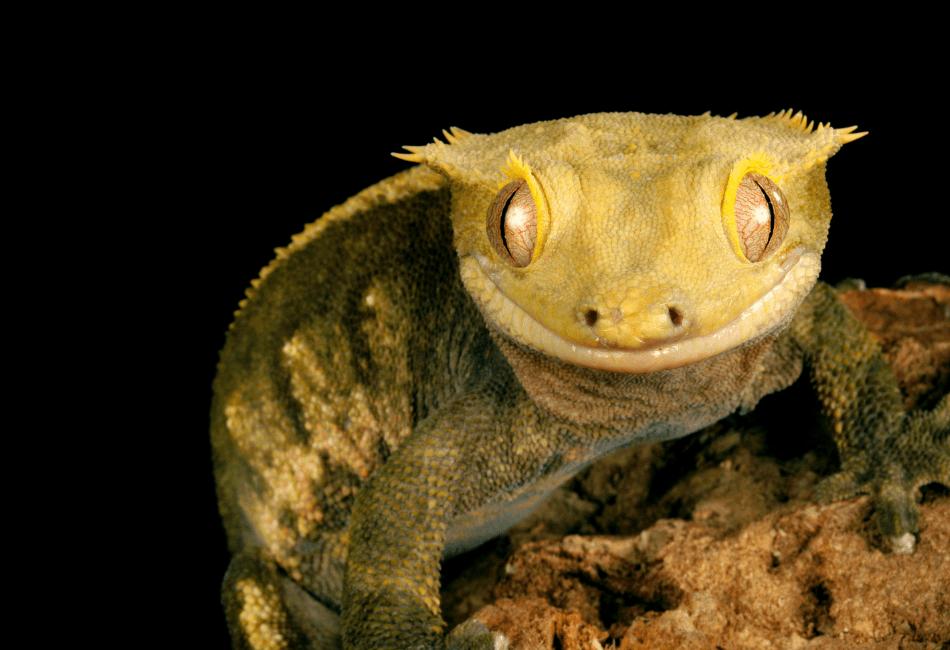 crested gecko setup 2
