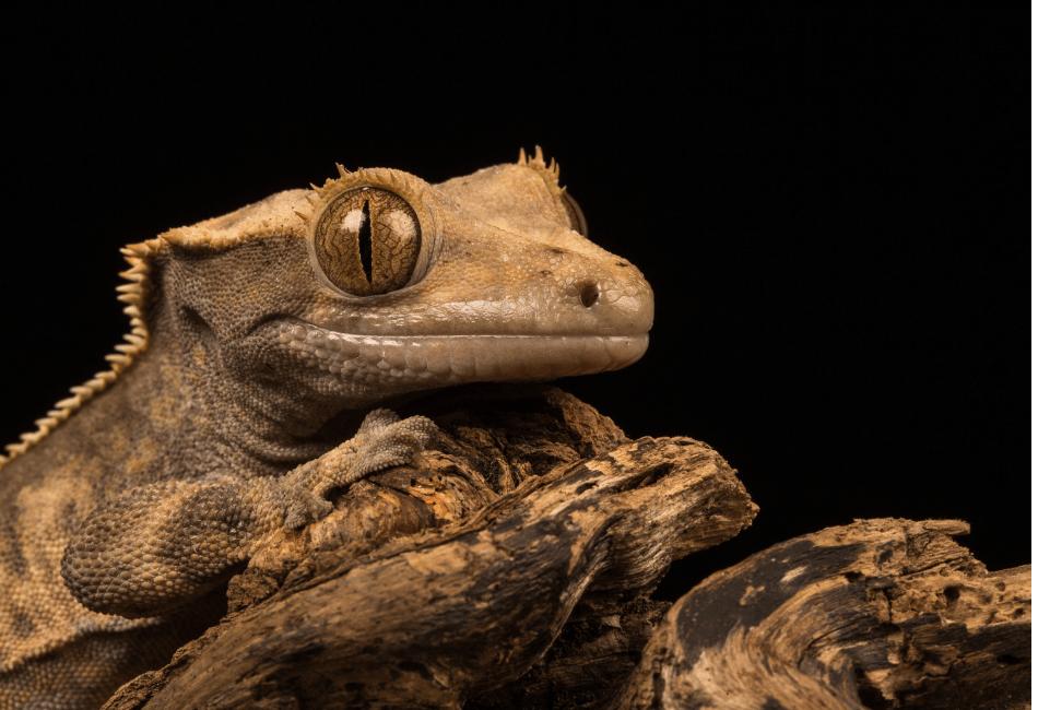 crested gecko setup 3
