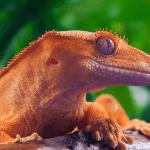 crested gecko vs bearded dragon 1