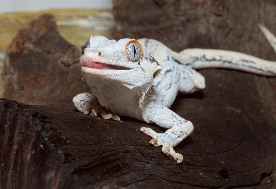 Gargoyle Gecko Vs. Crested Gecko