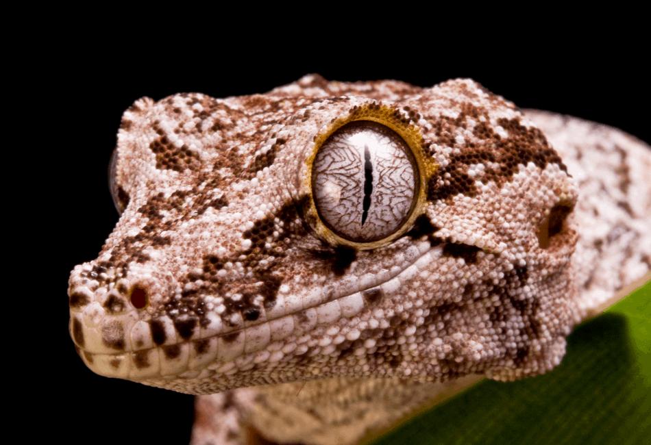 gargoyle gecko vs crested gecko 2