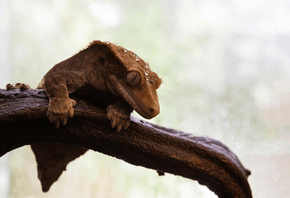 gargoyle gecko vs crested gecko 3