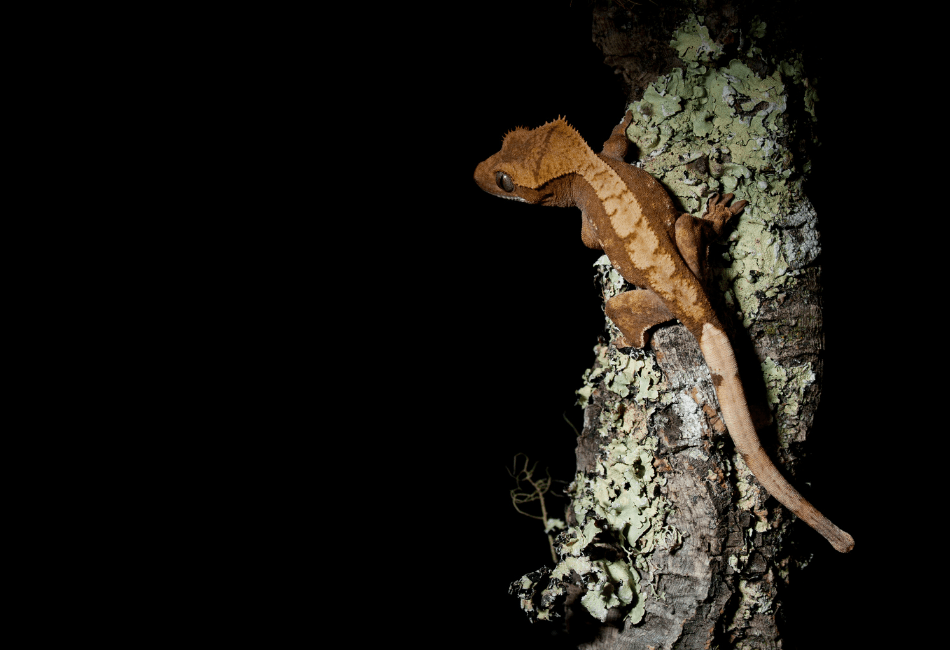how long can a crested gecko go without food 1