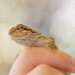 how often should i handle my bearded dragon 1