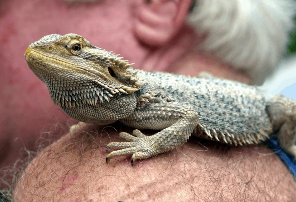 how often should i handle my bearded dragon 3