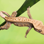 how to clean a crested gecko tank 1