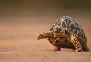 indian start tortoise care 1