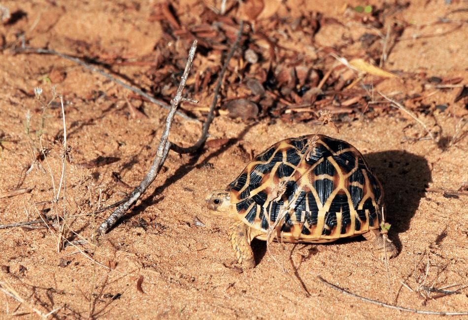 indian start tortoise care 2
