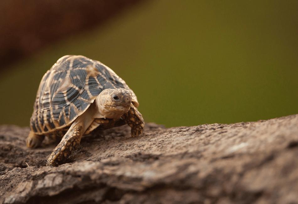 indian start tortoise care 3