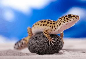 leopard gecko intelligence 1