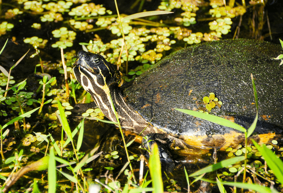 peninsular cooter turtle care 1