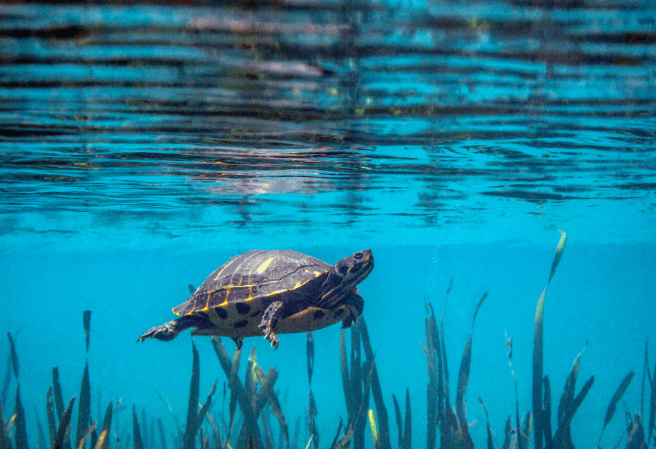 peninsular cooter turtle care 2