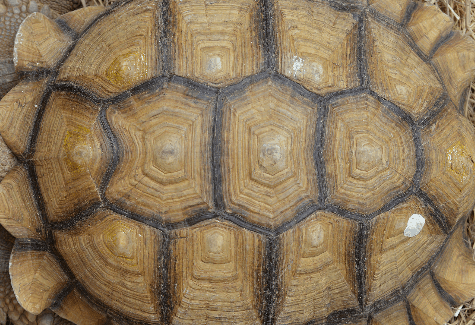 turtle shell diseases 3