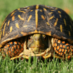 turtle soft shell treatment 1
