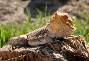 what fruit can i feed my bearded dragon 1