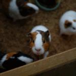 guinea pig cannibalism