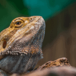 bearded dragon black light
