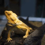 bearded dragon eat zucchini 1