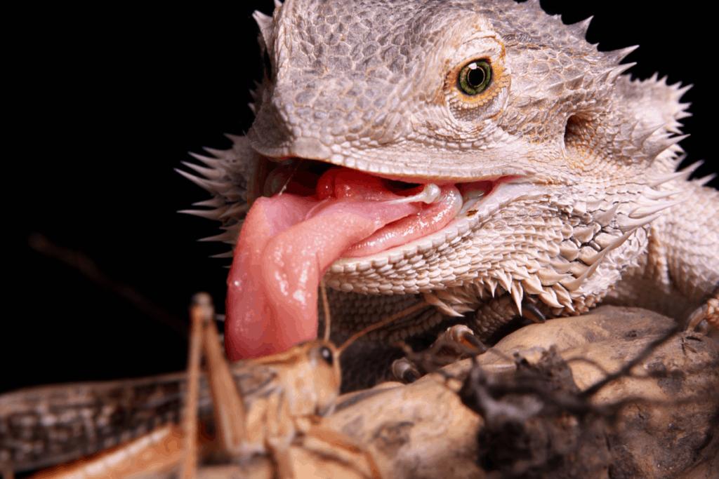 bearded dragon enrichment 4