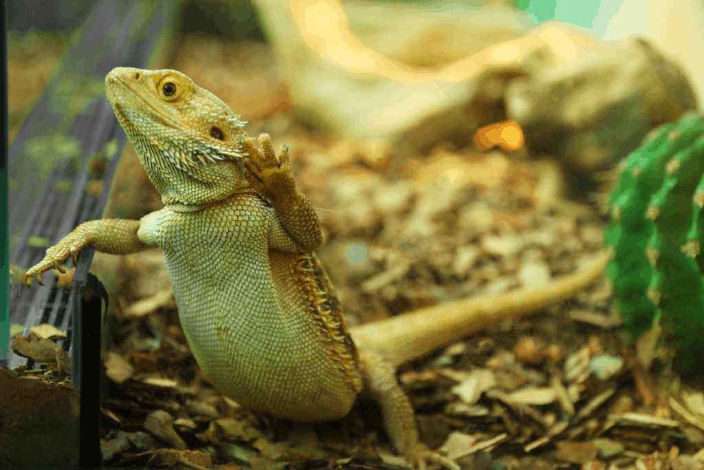 bearded dragon freeze dried food