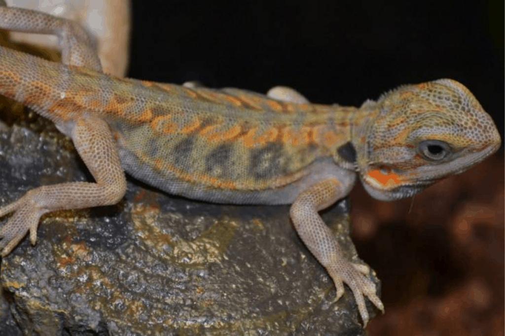 bearded dragon morph trans