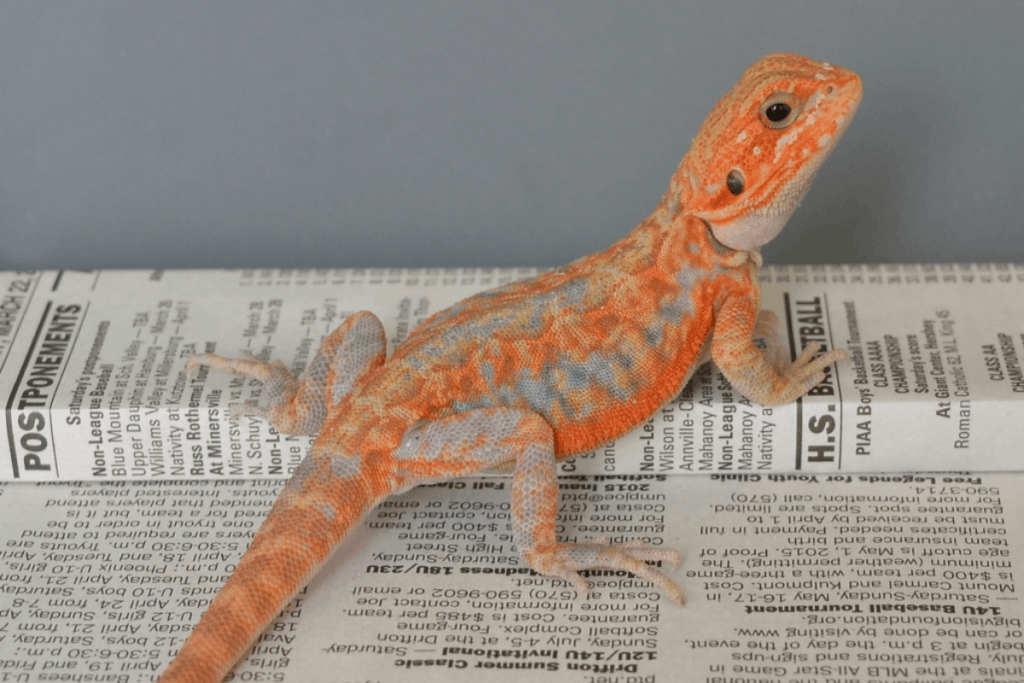bearded dragon morph paradox