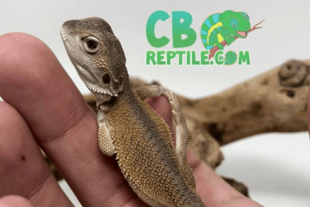 bearded dragon morph witblit