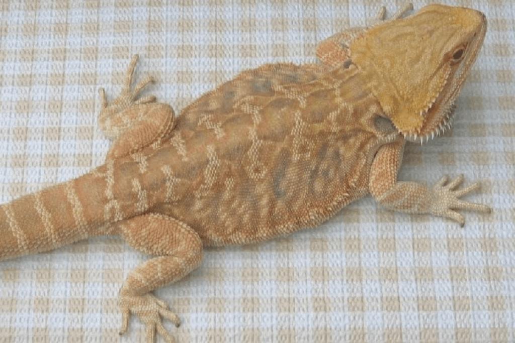 bearded dragon morphs microscale