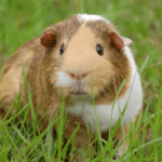 can a guinea pig die of loneliness 1