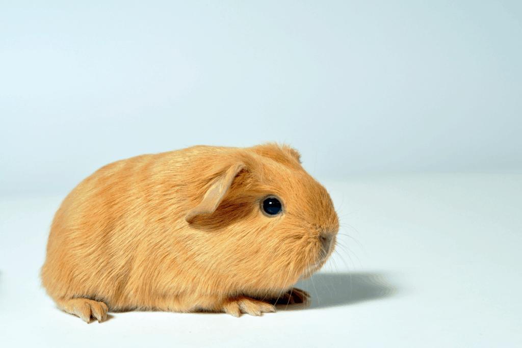 can a guinea pig live alone