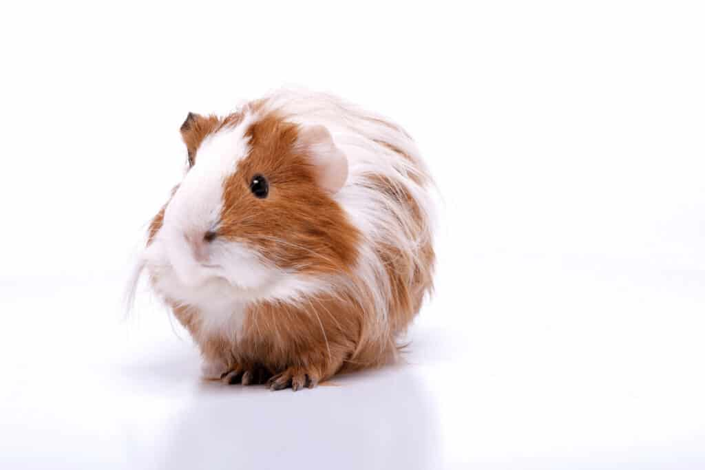 can my guinea pig eat watermelon