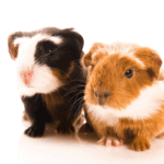 can the father guinea pig be with the babies