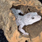cleaning leopard gecko tank