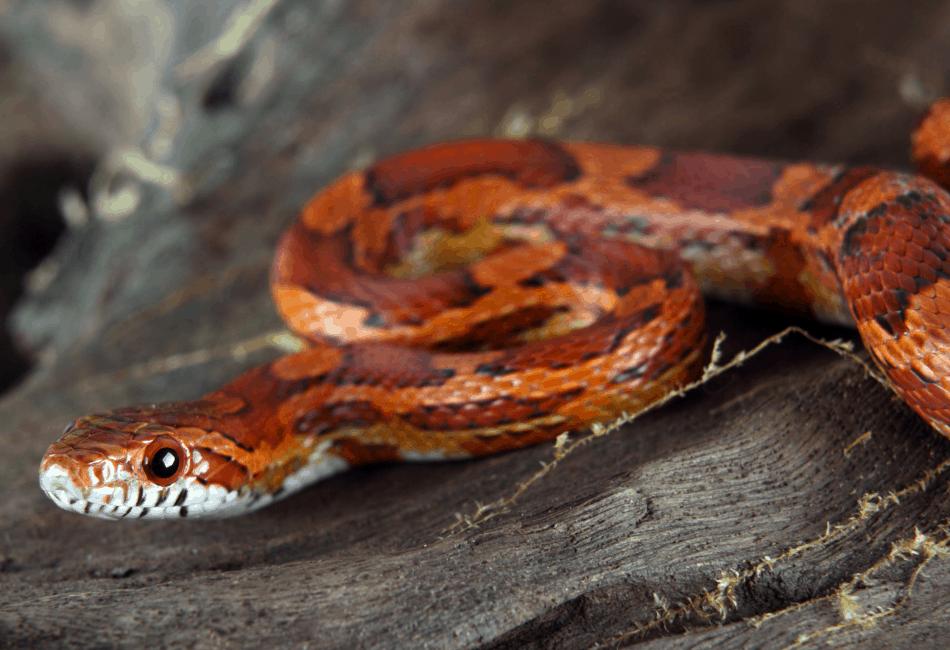 corn snake archive