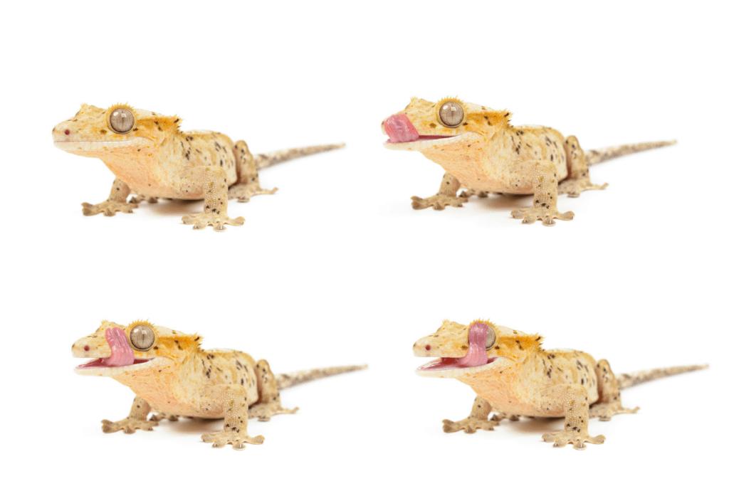compagnons de réservoir de gecko à crête