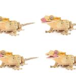 crested gecko tank mates