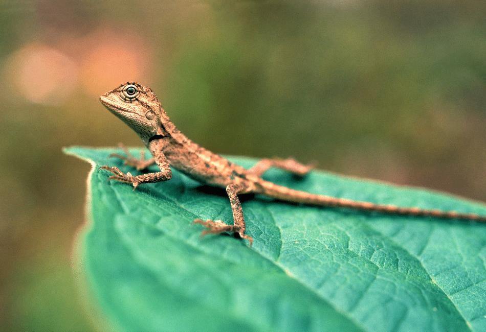general lizard archive