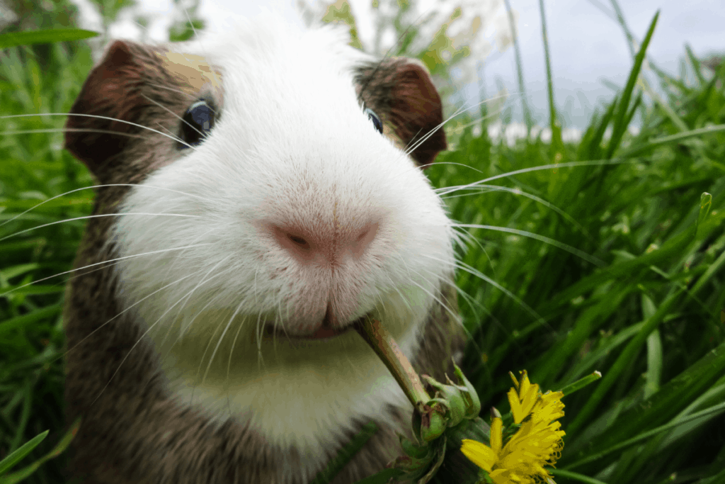 guinea pig archive