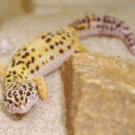 how many wax worms to feed a leopard gecko