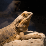 how much does a bearded dragon cost 1