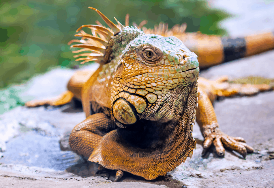 iguana archive
