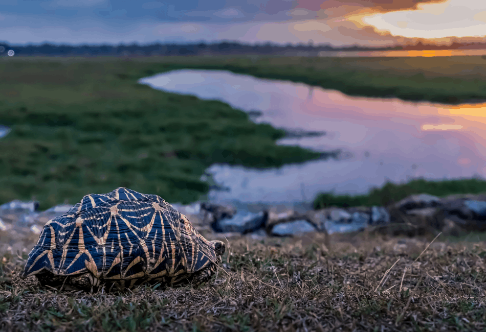 indian star tortoise archive