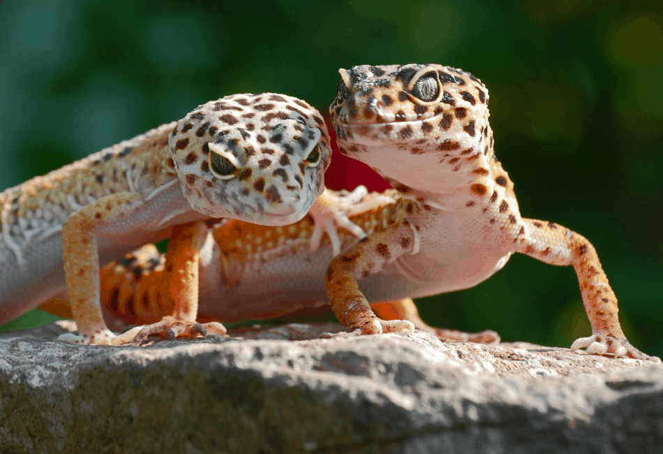 leopard gecko archive