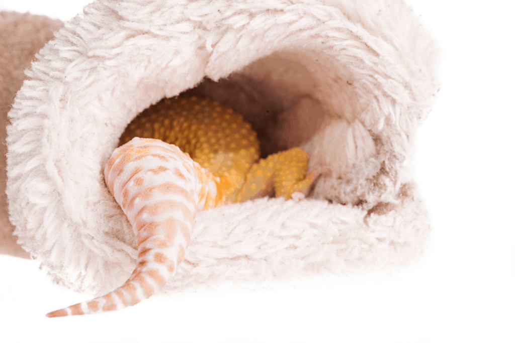 leopard gecko tail wag
